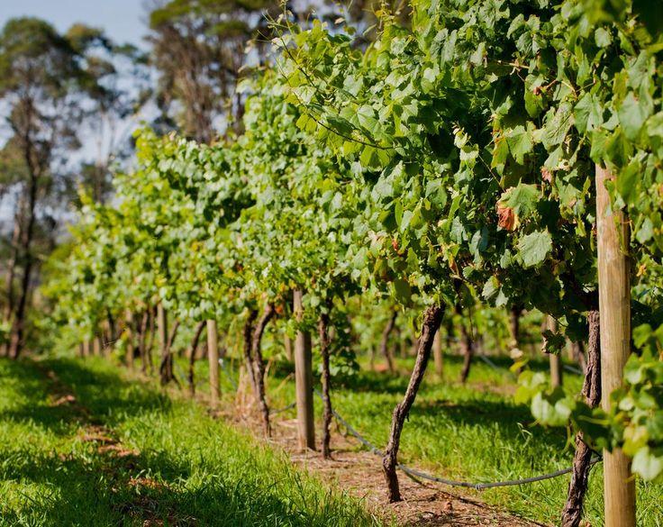 Одноплоскостные шпалеры для винограда недороги в изготовлении
