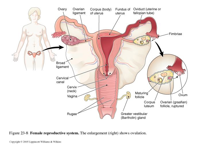 Image Result For Female Reproductive System Pictures Real Pdf Female Reproductive System Reproductive System System