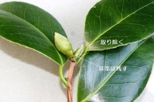 椿の取木・接木/ジベレリン処理の方法