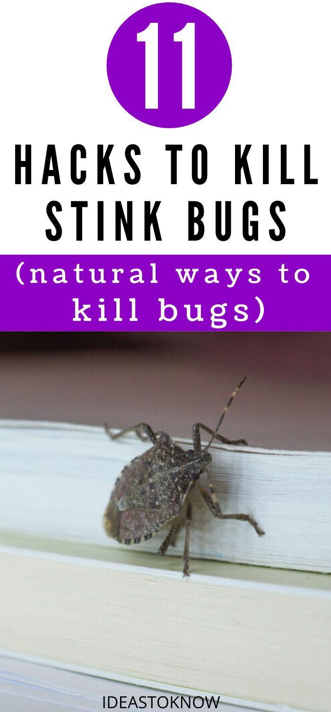 d4c3da2177e51ed0511c70a0af132213 - How To Get Rid Of Stink Bugs At Home