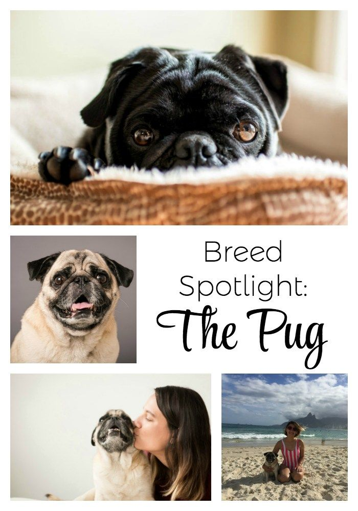 Breed Spotlight The Pug Dog Care Pugs Happy Dogs