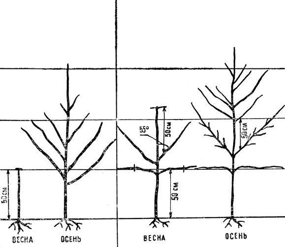 Рис. 3 (слева направо): первый год роста дерева, закладка первого яруса кроны; второй год роста, закладка второго яруса кроны