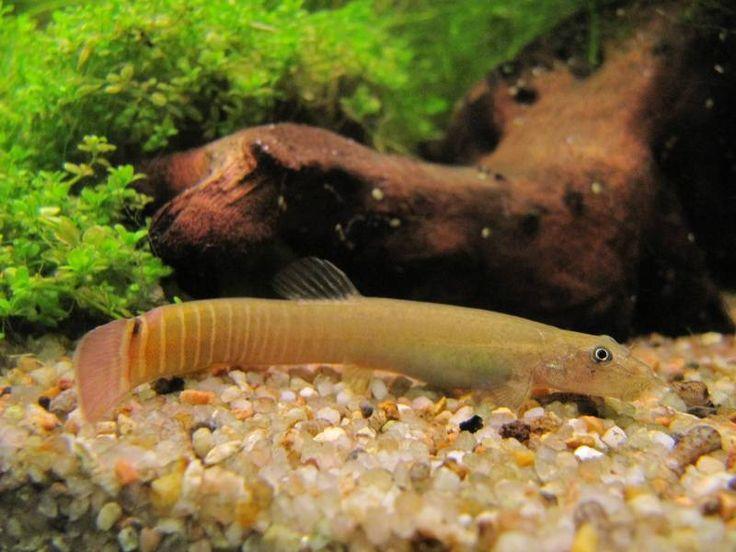 Les 25 meilleures id es concernant poisson d 39 eau douce sur for Poisson tropicaux eau douce