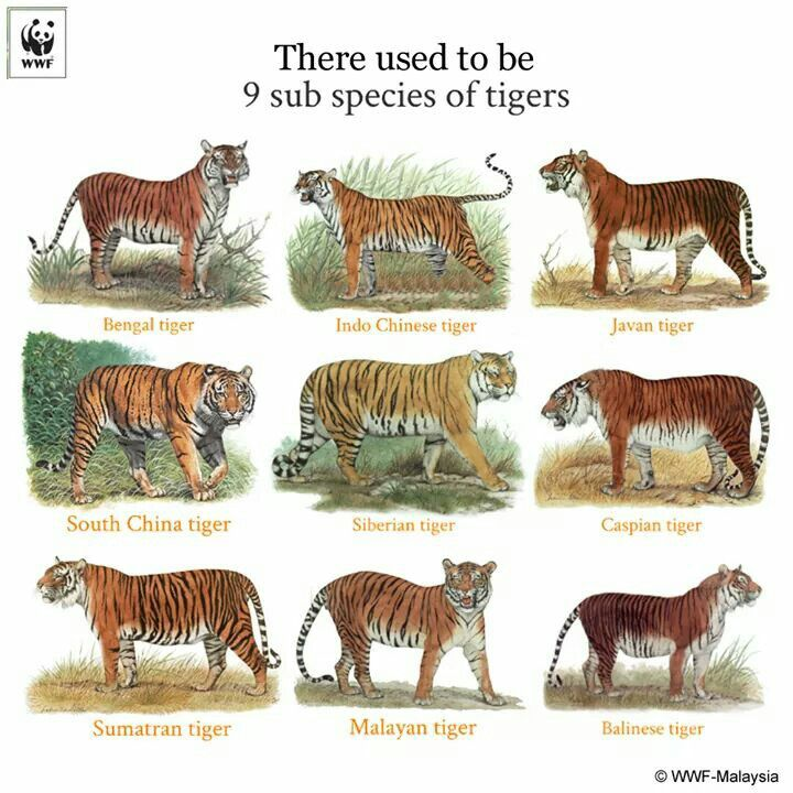 a look at the endangered species of white tigers These facts includes bengal tiger a critically endangered species most bengal tigers with a white tail the length of the bengal tiger.