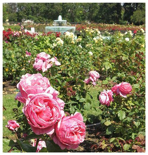 San Jose Rose Garden, Roses, Rose Garden, San Jose, San Francisco Bay Area, Bay Area garden, garden, South Bay, Where The Locals Go, summer