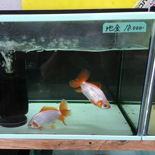 【enhance1】さんのInstagramをピンしています。 《理想の金魚を見つけたが… この金魚屋が一番種類が豊富で和金型も多いのでいいね。 #金魚 #地金…