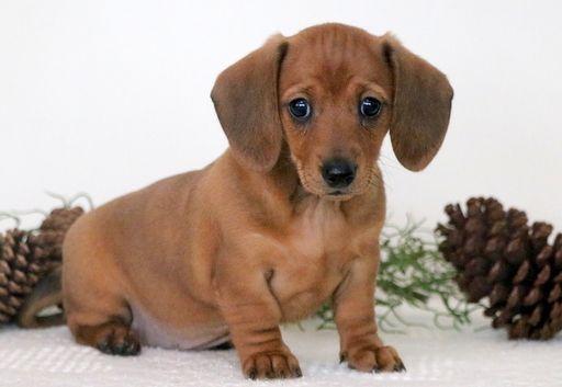 Dachshund Puppy For Sale In Mount Joy Pa Adn 58598 On