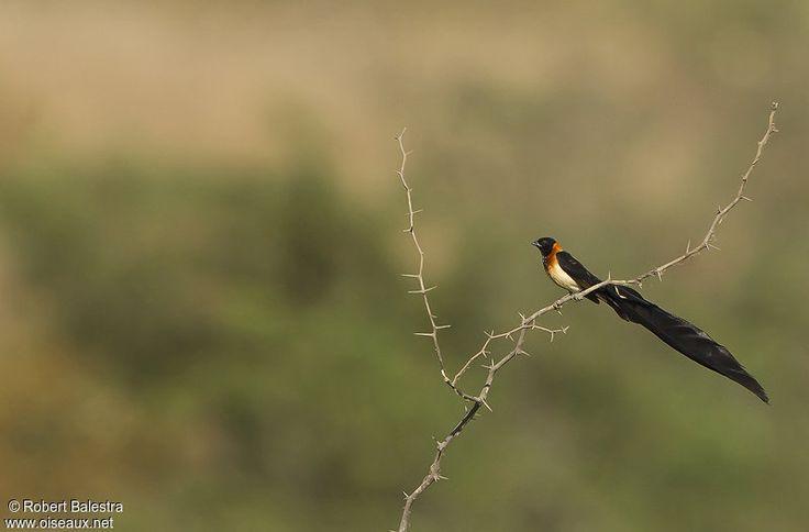 paradise long tailed whylah -veuve à collier d'or