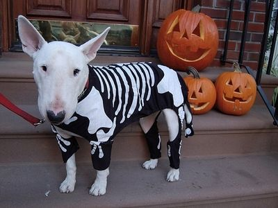 Bull Terrier modelling a skeleton halloween costume! Aaaaw!