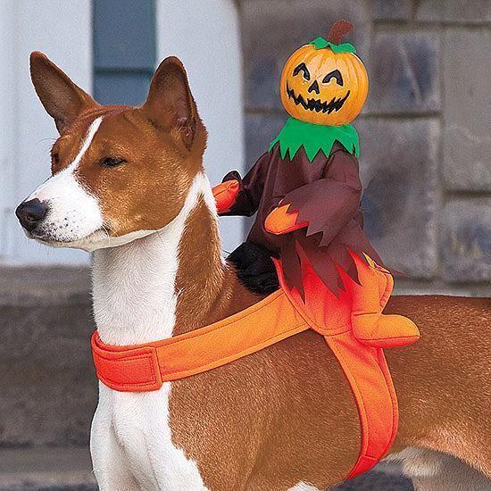Cute Basenji + cute costume.