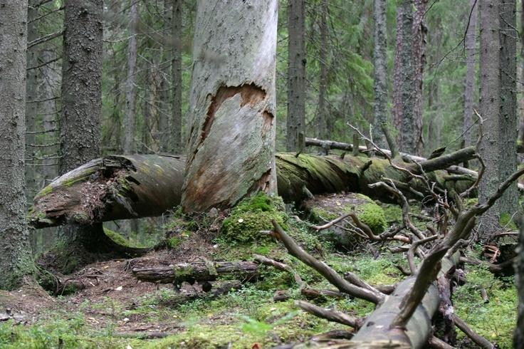 Pyhä-Häkin kansallispuisto on koskemattomien aarniometsien ja ikivanhojen puiden puisto. Pyhä-Häkki has untouched old-growth forests and trees of great age. Many rare birds, insects and plants have found shelter of the very old trees.  Kuva: Metsähallitus / Reijo Kuosmanen    www.luontoon.fi/pyha-hakki  http://www.facebook.com/MatkaMaalle  http://www.keskisuomi.net/  http://www.centralfinland.net/