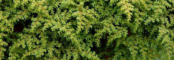 Pilea microphylla « Sélection Réserve Naturelle