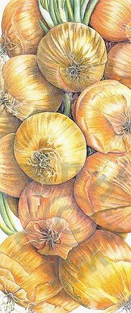 "Ann Swan, ""Onions"", colored pencil"