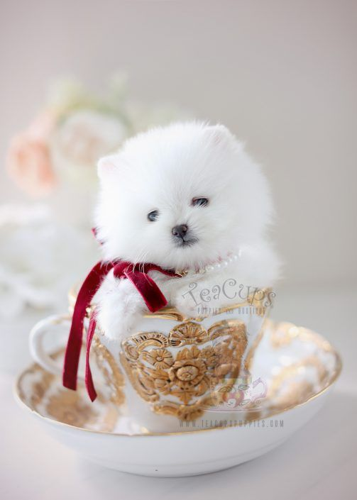 Amazing Snow White Teacup Pomeranian Puppy By Teacup Puppies Boutique Home Raised And Locally Bred Teacup Puppies Cute Baby Puppies Pomeranian Puppy Teacup