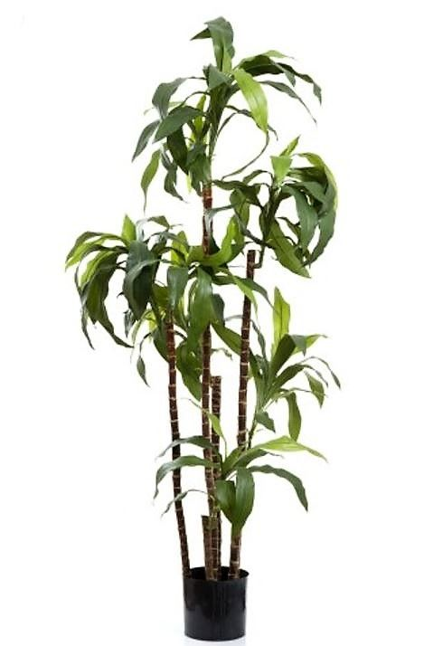 Artificial Dracena Fragrans 1.6mt 8 heads on natural timber stems