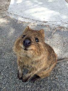 Cute Wombat Wallpapers 971 Best Wombats Amp Quokkas Images On Pinterest Quokka