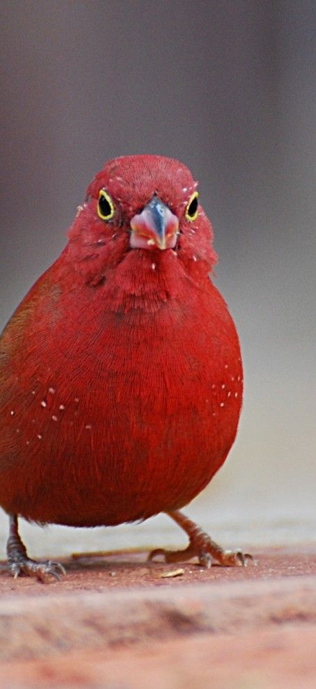 The Red-billed Firefinch or Senegal Firefinch, Lagonosticta Senegala, is a small passerine bird. This Estrildid Finch is a resident breeding bird in most of sub-Saharan Africa with an estimated global extent of occurrence of 10,000,000 km². This species was introduced to Egypt, however, the introduced population has become extinct.