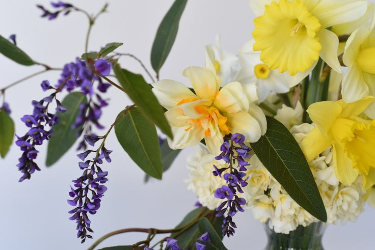 purple hardenbergia and creamy yellow daffodils
