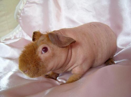 Shaved guinea pig….looks like a mini hippo to me. I think its adorable.