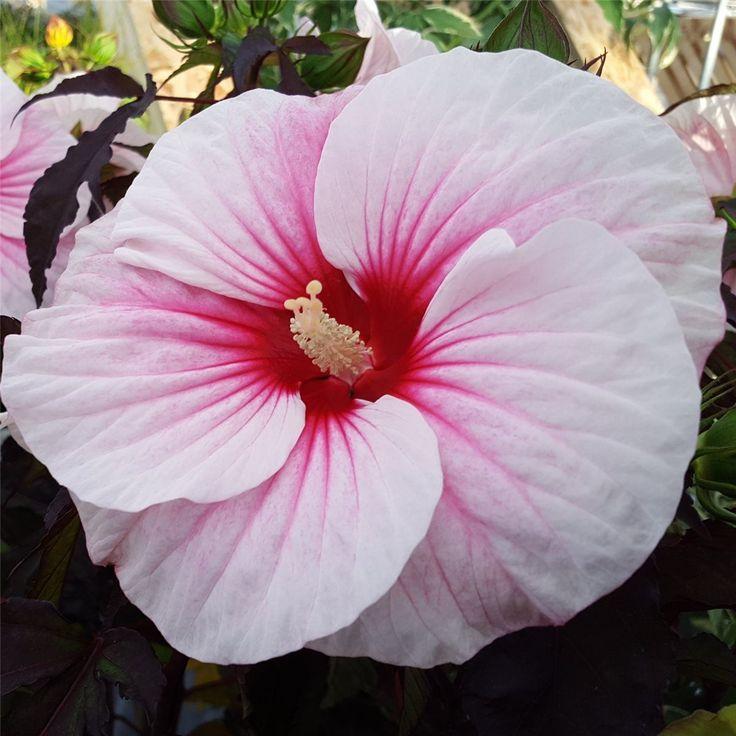 Riesen-Hibiskus (Hibiscus moscheutos) Carousel® Pink Candy