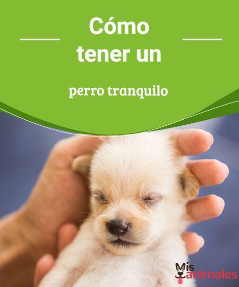 Cómo tener un perro tranquilo  Te contaremos algunos consejos para tener un perro tranquilo ya sea cuando estás a su lado o cuando se queda solo. ¡Son muy efectivos! #alimentación #tranquilo #perro