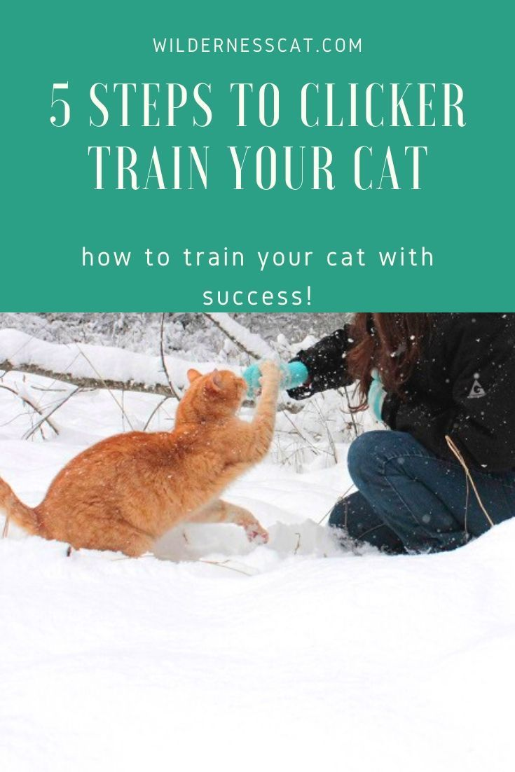 A Quick Guide To Clicker Training Your Cat Wildernesscat In 2020 Cat Training Cats Cat S