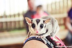 Sugar Gliders for sale at Paradise Valley Farm