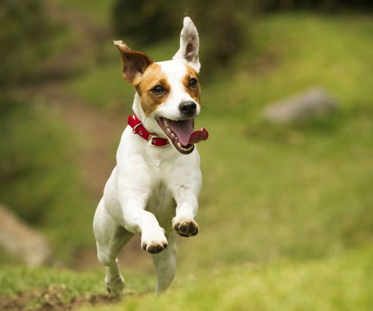 The most expensive dog breeds to insure  Jack Russell Terrier -cheapest to insure