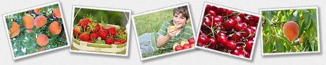 Fruit Picking in Charlottesville, VA Chiles Orchard