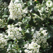 White Escallonia Hedging