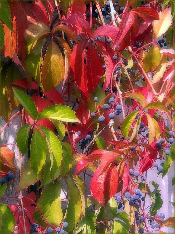 Vadszőlő ősszel
