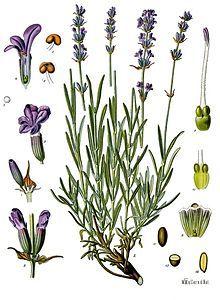 English Lavender, True Lavender (Lavandula angustifolia)