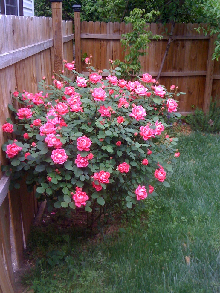 Love Garden Roses: 1000+ Images About The Knock Out® Family Of Roses On
