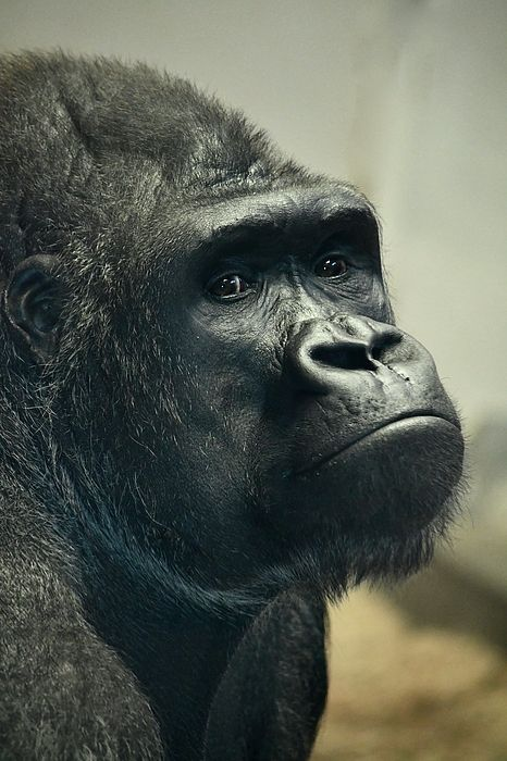 Pensive Gorilla. Photo taken at Denver Zoo. #eyes #gorilla #primate