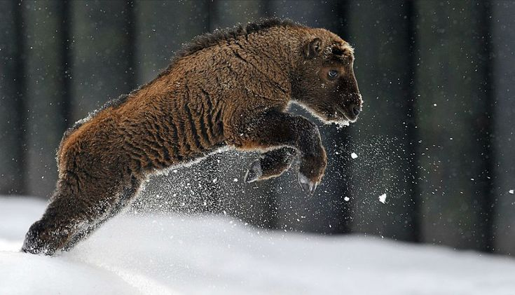 A baby bison leaping out of the snow. YOU'RE THE CUTEST THING EVER!
