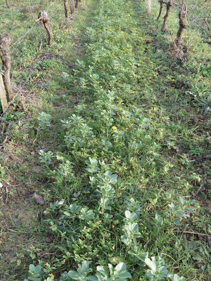 Les engrais verts f verole moutarde blanche et seigle for Couvrir les plantes en hiver