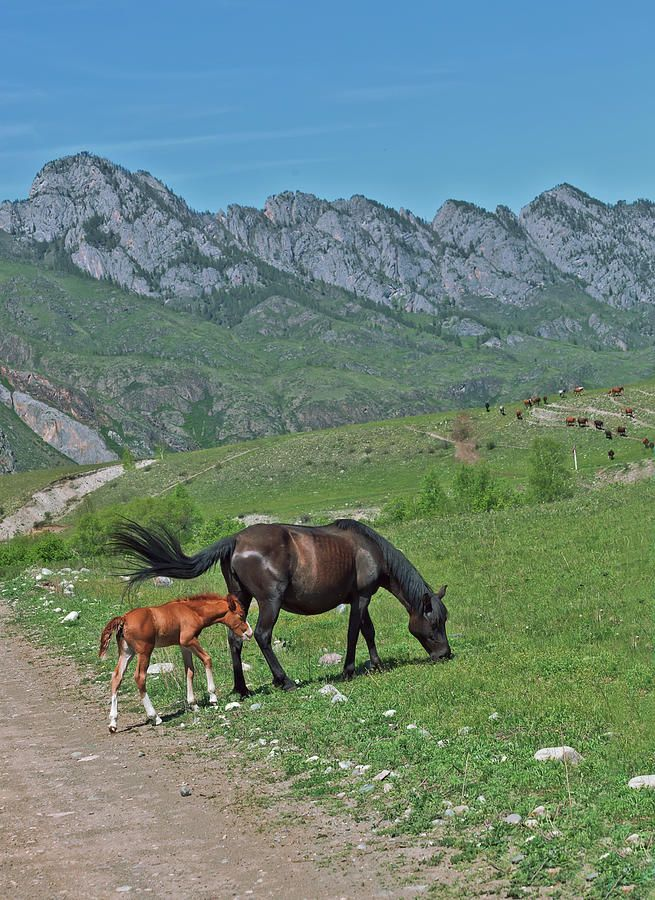Wild Horses A Mare And Newborn Foal Photograph by Oksana Ariskina. Russia, Altai, Chemal on @pixels and @fineartamerica  Buy print and other product with my fine art photography online: www.oksana-ariskina.pixels.com    #OksanaAriskina  #FineArtPhotography #HomeDecor #FineArtPrint #PrintsForSale #Altai #Altay #Nature #Mountains