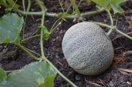 melón en el huerto