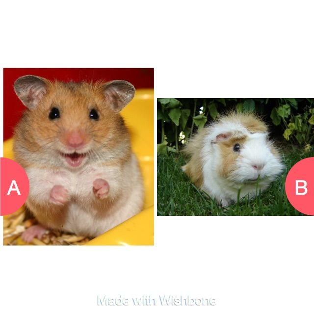 Hamster or guinnie pig Click here to vote @ http://getwishboneapp.com/share/13648777