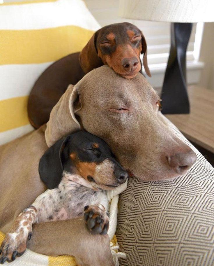 Indiana (top - miniature dachshund), Harlow (middle - Weimaraner) and baby Reese (bottom - miniature dachshund)