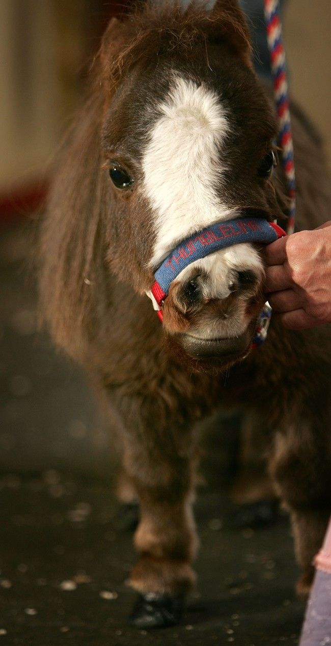 Thumbelina, The Mini Horse, Is Sure To Gallop Right Into Your Heart