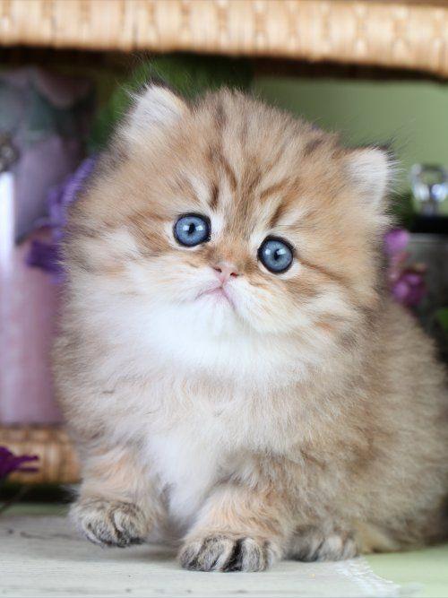 Teacup Cats | Teacup Persian kittens Teacup cats Teacup kittens for sale Teacup ... #persiancatwhite