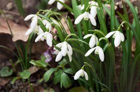 Kikeleti Hóvirág (Galanthus nivalis) gondozása, szaporítása