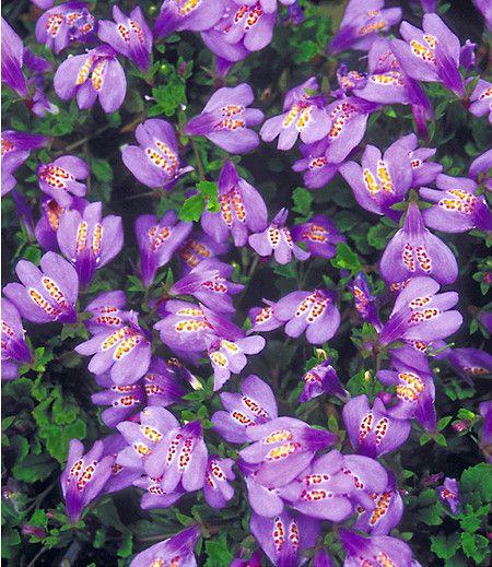 Mit einem Blüten-Schwarm, der aussieht wie exotische, kleine Schmetterlinge, beeindruckt diese neue Rarität. Der perfekte Bodendecker bildet schnell Blüten-Teppiche. Dank seines Ursprungs im Himalaya absolut winterhart!