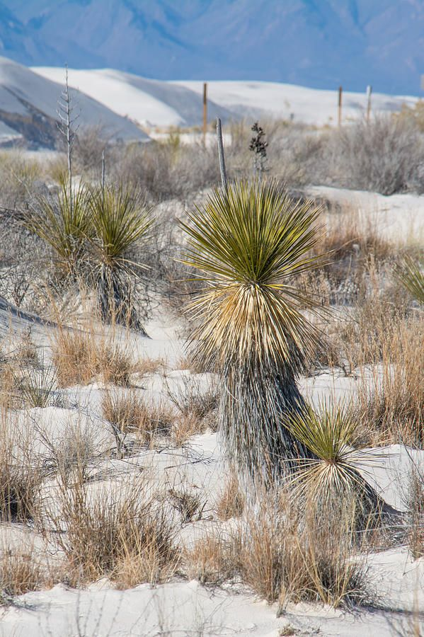 White Sands National Monument, New Mexico - 'Yucca' by Racheal Christian #photography - To buy visit http://racheal-christian.pixels.com/featured/yucca-racheal-christian.html