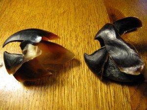 Squid beak (left) is for tearing. Octopus beak (right) is for crushing. fyi