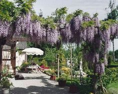 pergola wisteria pink - Google zoeken