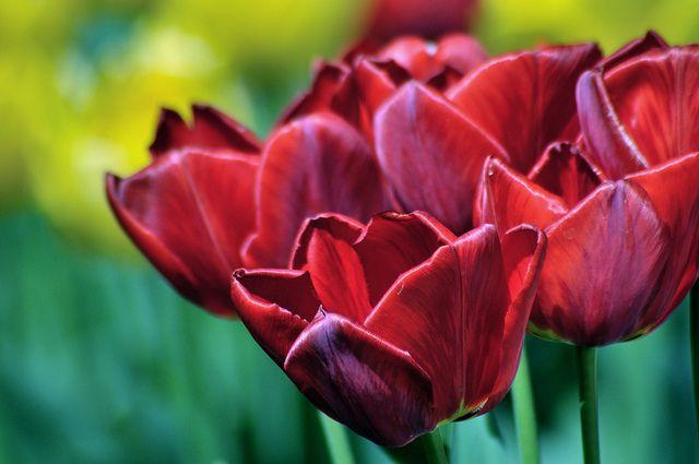 lale, tulipani