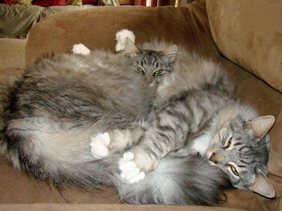 Fur balls, literally. http://www.mainecoonguide.com/maine-coon-personality-traits/