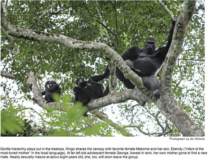 Image for Chapter 1 to show gorillas using flexible hips to spread weight around in a tree. Caption could say how much a silverback weighs. Photo by Ian Nichols.